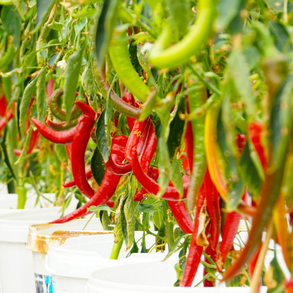 Fresh Palivec Chilli